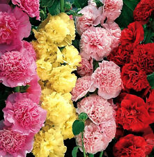 Hollyhock Seeds, Carnival Mix, Heirloom Bulk Seeds, Very Tall Flowers, 250ct