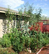 Egyptian Spinach - Molokhia - 120/500/1200 seeds - Corchorus olitorius Jute