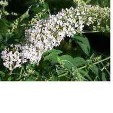 White Eyes, Butterfly Bush, plant