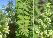 Rhus punjabensis var sinica (10 graines/seeds )