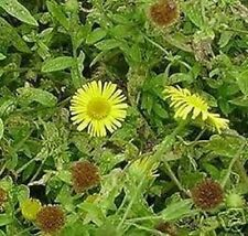 Floh - Kraut Balkonpflanze für den Blumenkasten Blumentopf winterhart immergrün