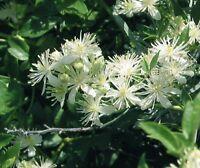 Virgin's Bower Vine (Clematis virginiana) ✤ 100 Seeds