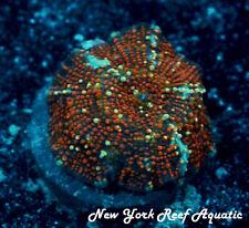 New York Reef Aquatic - 0611 G4 Red Devil Disco Wysiwyg Live Coral
