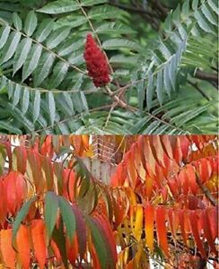 1X 2-3FT LARGE RHUS TYPHINA TREE - STUNNING SPECIMEN - STAG HORN SUMACH - 5L