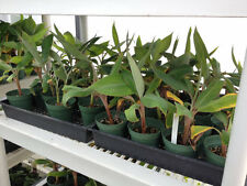 """Lot of 2 - Manzano """"Apple"""" Banana Plant - Rare - Live Banana Tree - *Rare*"""