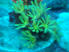 New listing Live Neon Green Pipe Organ Coral Frag - 4 polyp