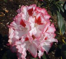 Rhododendron großblumige Hybride Hachmann's Charmant 30-40cm Frühlingsblüher
