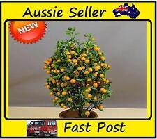 Mini Sweet Orange Tree Seeds 50 Seed Pack Home Grow Garden or Pot Plant