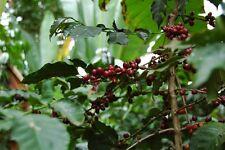 Coffee Plant Seeds - ETHIOPIAN DJIMMAH - Wild Grown - GMO FREE BEAN - 25 Seeds