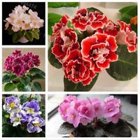50 PCS Seeds African Violet Mix Colors Flowers Bonsai Saintpaulia Ionantha Rare