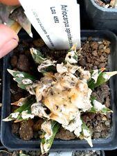10 Ariocarpus agavoides X bravoanus LOZ4582 SEMI KORN SEEDS no caralluma huernia