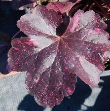Purpurglöckchen Midnight Rose-heuchera micrantha