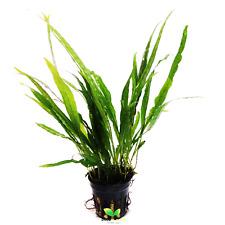 Java Fern Sp. Narrow Leaf Pot B2G1 Freshwater Live Aquarium Plants Betta Shrimp