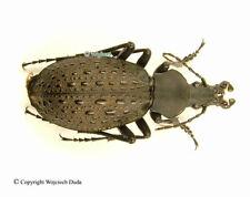 Coptolabrus formosus wanxianicus - male, rare