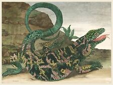 European Master Prints: Lizard by Maria Sibylla Merian - Fine Art Reproduction