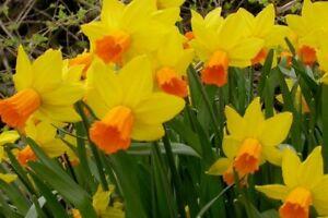 Daffodil Narcis miniature Jetfire  - 15 Bulbs Per Pack 15cm