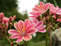 Bitter Root Seed, Lewisia Hybrid Mix Succulent Cold Tolerant Multi Colours