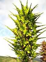 Puya Chilensis Chagall * Stunning * Amazing * Flower 10 Seeds * Rare * Evergreen