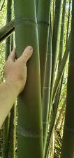 Rhizome de  bambou Moso Phyllostachys edulis
