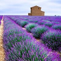 Lavender Organic Pure Essential Oil 10ml