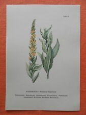 Fleur roi bougie (Verbascum thapsus) précieux impression couleur 1956