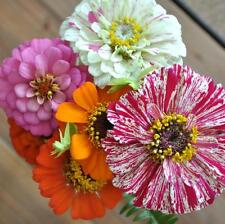 FLOWER ZINNIA DWARF THUMBERLINA  4 GRAM ~ APPROX 400 FINEST SEEDS