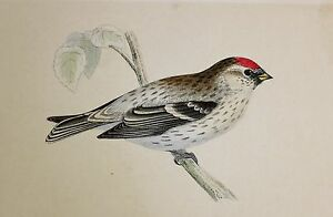 c1875 ANTIQUE PRINT ~ MEALY REDPOLE ~ HAND COLOURED British Birds Morris