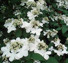 7 'Pink Beauty' Viburnum STUNNING AUTUMN COLOUR! flowering shrub garden plant