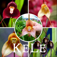 100 PCS Seeds Orchids Bonsai Monkey Face Dragons Plants Flowers Free Shipping G