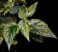 Begonia hatacoa var. meisneri - rare Begonia species
