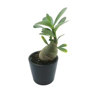 "Desert Rose Adenium obesum | Baobab shaped succulent house plant | 5cm 2"" potted"