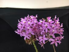 Crucifix Orchid Seed raised Magical Mauve whopper 200mm pots in bloom TOUGH