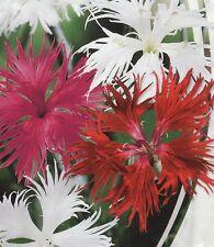 Clove Dianthus superbuss Terry Mix  Flower Seeds from Ukraine