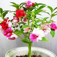 120pcs Bunte Garten-Balsam-Samen Impatiens Balsamina Garten-Blumen Pflanzen E7J9