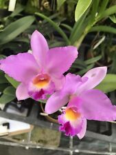 Orchid Rth Hsinying Starlight Pink Lady Plant 227 In 4 Inch Basket