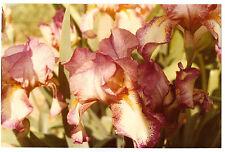 VINTAGE 80s PHOTO Beautiful Iris Flowers