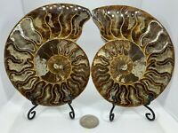 LARGE BROWN AMMONITES - MATCHED PAIR - JURASSIC OR CRETACEOUS PERIOD