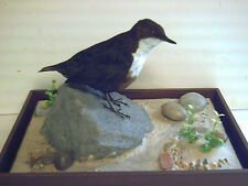 Dipper (very rare) in a Glass Case with a river bank/waters edge type setting