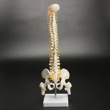 18'' Spine Model With Pelvis Femur Heads 1/2 Life Lab Equipment Detailed New