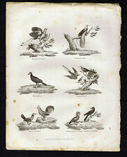 Wild Cock-Pigeon of Bandy-Whiskered Jack Draw-Black Hocco-Birds-1827 Rees Print
