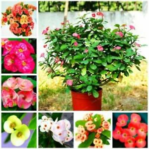 100 Pcs Euphorbia Milii Seeds Hybrid Mix Flowers Crown Thorns Graptopetalum
