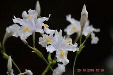 Plants- Iris Evansia  'Darjeeling'