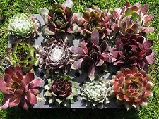 12x Sempervivum Dachwurz große Vielfalt kräftige Rosetten in 12 Sorten! Hauswurz