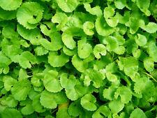 Centella asiatica gotu kola Hydrocotyle 25 seeds fresh