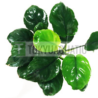 Anubias Barteri Pot Round Leaves Golden Coin Leaf Nana Live Aquarium Plant Hardy