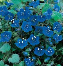 New listing California Bluebell Flower Seeds - Bulk - 13,000 Seeds *
