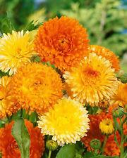 CALENDULA  'Pacific Beauty Mixed' 50 seeds flower garden