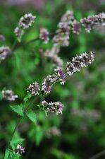 Herb - Catmint - Catnip - Nepeta Cataria - 1500 seeds