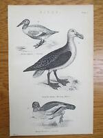Antique Engraving Print Bird Picture Shoveller Wandering Albatross Goosander Old