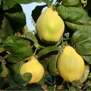 Quince Tree Seeds (Cydonia oblonga) 15+Seeds